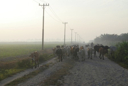 Gembala Lembu