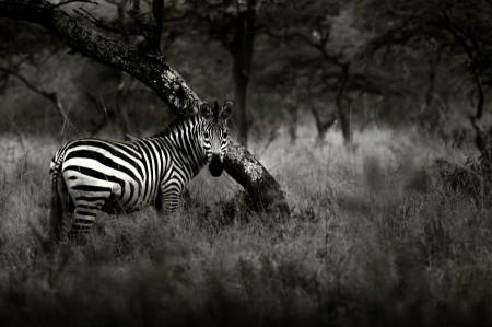 simply Zebra