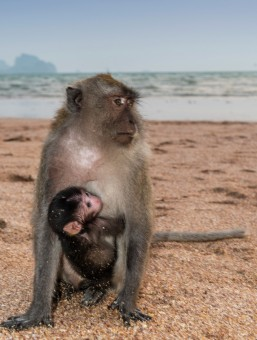 Crab-eating macaque with young
