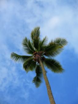 Rayuan Pohon Kelapa