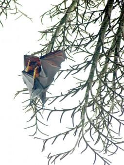 Bats cuddling in Anambas