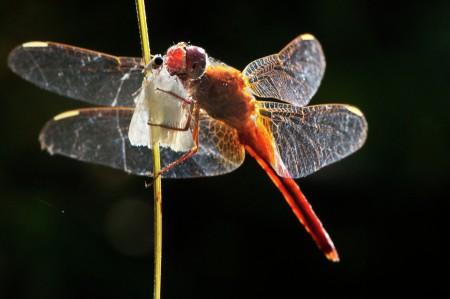 Dragonfly with Kill