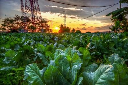 Senja petang di ladang sayur