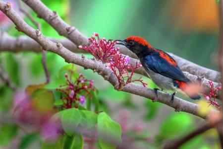 Red-Backed Flowerpecker