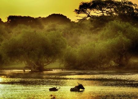 Sri Lanka's Water Buffalo