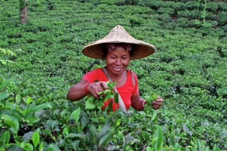 Garo women in tea Garden