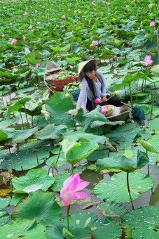 On the lotus field