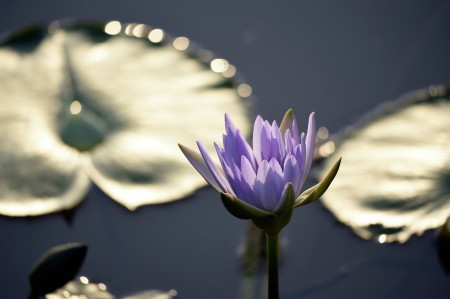 Bokeh The Lotus